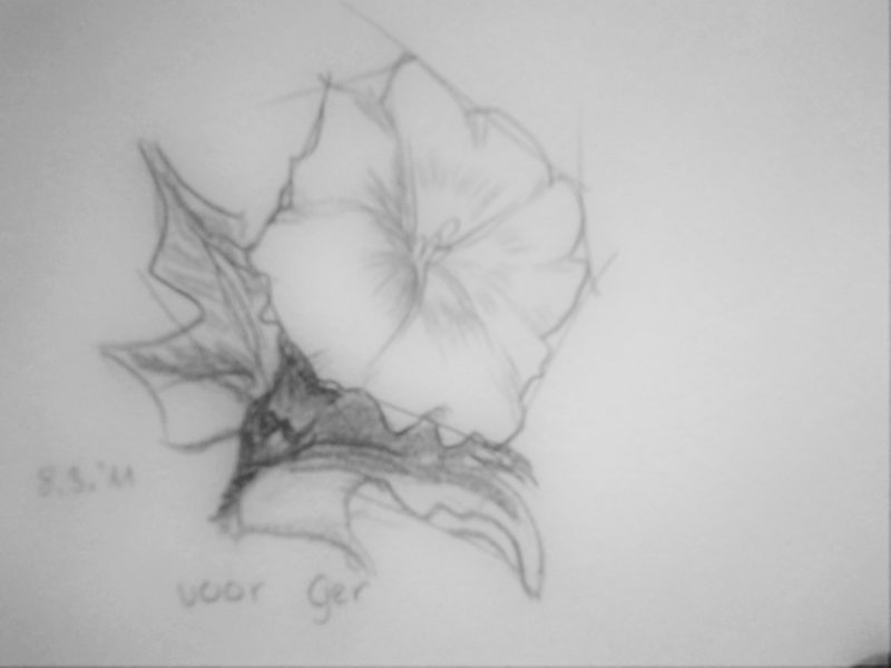 Drawing of a white field bindweed with pencil on paper. figurative doodle